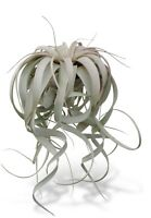 "Tillandsia Xerographica 8-12""+ X-Large Air Plants FREE SHIPPING"
