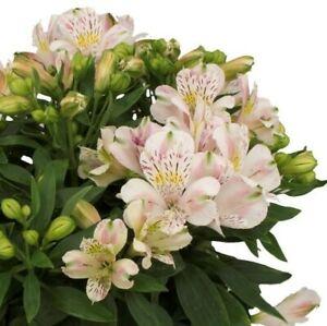 "Alstroemeria Inca""Vienna"",1L Pot,Fully Est. Sun/Shade,Flowering Size,Compact"