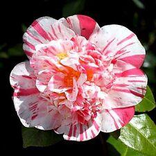 "Camellia Japonica ""Extravaganza"" x 1 plant."
