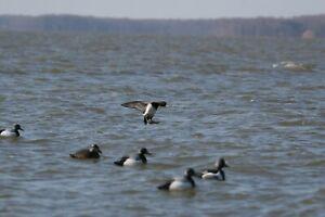 Greenhead Gear Life Size Bluebill Scaup Duck Decoys Avery GHG Blue Bill Duck