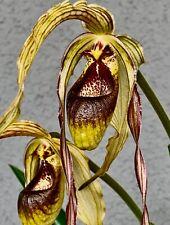 Phragmipedim Species Dark 4N NEW Orchidee Orchideen