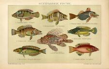 1895 TROPICAL EXOTIC FISH Antique Chromolithograph Print