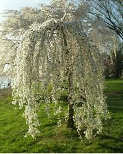 🌱 20 FRESH White Weeping Cherry Tree Cuttings 🌱 Free shipping.  🍀🍀🍀