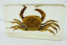 Crab Sesarma Crustacean Insect Taxidermy Paperweight Specimen NG