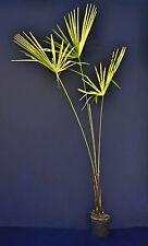 TRACHYCARPUS FORTUNEI vaso pot 18 cm Palma cinese o di Chusan Palma palm