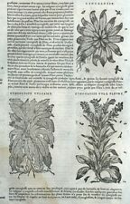 Cynoglossum Anchusa Medicina Botánica Matthioli Mattioli Matthiole Dioscorides