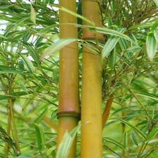 RARE NEW Asian Bamboo 'Striped Temple' Rhizome/Root (Sinobambusa tootsik)