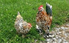 12+ Mille Fleur d'Uccle, Blue Laced Red Wyandotte Bantam Chicken Hatching Eggs