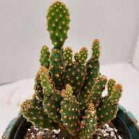 Opuntia Rufida minima monstrous cactus cacti succulent live plant #10-329