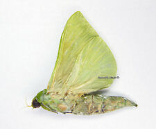 Unmounted Butterfly/Hepialidae - Aenetus virescens, male, 35-38mm, A1/A-
