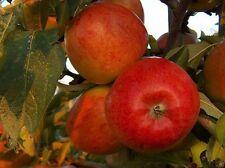 'Braeburn' Apple Tree 4-5ft 5L Pot Self-Fertile,Ready to Fruit,Crisp & Aromatic