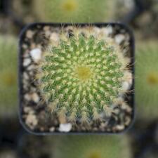 25 Seeds Golden Ball Succulent Cactus Plant Garden Cacti