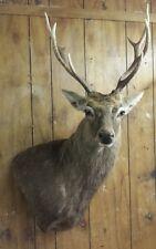 Taxidermy Hunting Trophy big wall pedestal  Sika Deer head Mount horns antlers
