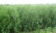 Thuja Brabant 80-100 cm Höhe, 20 x Heckenpflanzen inkl. Versand 235,- Euro.