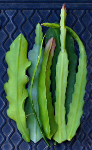 6 Mystery Epiphyllum Orchid Cactus Cuttings, Mixed colors, Assorted - Not Named