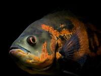 V0907 Oscar Fish Beautiful Astronotus Ocellatus Decor WALL PRINT POSTER