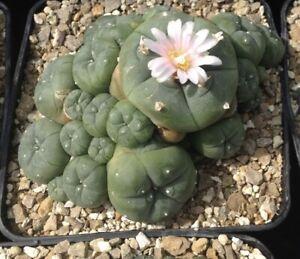 Ariocarpus retusus  magnificus x  form B  50 seeds RARE //cacti //succulent.