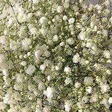 Baby's Breath, Babies Breath FRESH CUT Flowers Wedding Centerpiece 20 Bulk Bunch