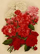 Bouquet de Roses Fleur Décoration Journal des roses Lithographie 1910