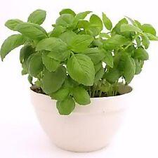 2000 SWEET GENOVESE BASIL Herb Flower Seeds + Free Gift
