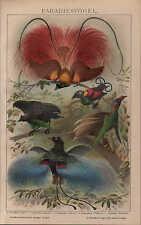 Chromo-Lithografie 1903: Paradiesvögel. Paradisea rubra Paradiesea Rudolphi