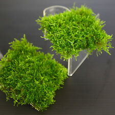 Mini South America Moss Pad 8x8cm - Live Aquarium Fish Tank Plants Low Light