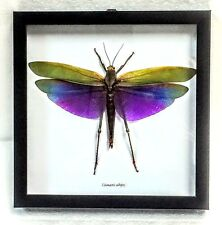 REAL PURPLE-WINGED GRASSHOPPER TITANACRIS ALBIPES TAXIDERMY IN SHADOWBOX FRAME