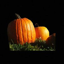 PUMPKIN BIG MAX 10 SEEDS Prize Winning Giant Heirlooms NON-GMO Large Squash USA