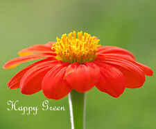 THE MEXICAN SUNFLOWER MIXED COLORS - 120 SEEDS - Tithonia speciosa - FLOWER