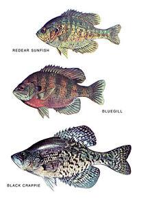 Sunfish Poster, Sunfish, Bluegill, Crappie, Fishing