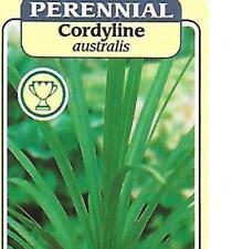 CORDYLINE AUSTRALIS 40 SEEDS