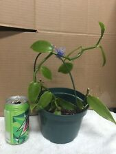 Vanilla orchid vine plant! Collector plant. Limited stock. Grow your own vanilla