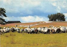 B69161 Luneburger heide sheep mouton germany