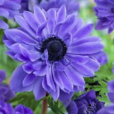"""10 x Blue Anemone """"LORD LIEUTENANT"""" (griffes) (pour planter yourself)"""