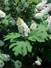 "2 Oakleaf Hydrangea Plants(Hydrangea Quercifolia) 3"" Container"