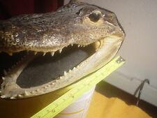 Gator Head Real Stuffed Taxidermy