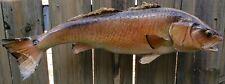 "Vintage REDFISH 24"" Bull Fish MOUNT CABIN DECOR needs Restoration project"