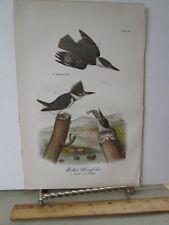 Vintage Print,BELTED KINGFISHER,Chromo,Birds of Pennsylvania,Warren,1888