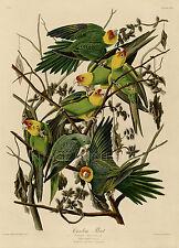 Carolina Parrot Audubon Vintage Giclee Canvas Print 20x28