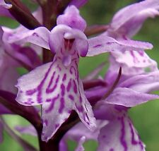 Dactylorhiza maculata Heath Spotted-Orchid garden home patio PA