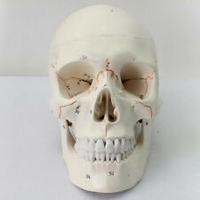 Human Anatomical Anatomy Head Skeleton Skull Life Size Teaching Model Precise M3