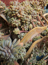 SUCCULENT PLANT CUTTINGS X 4 (From single plant as shown in picture)