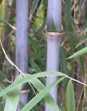 Chinese blue cane bamboo, Bashania fargesia, Wind Break bamboo plant.