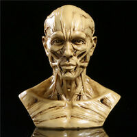 "New 4"" Human Anatomy Skull Head Muscle Bone Medical Arts Teaching Model Sand"