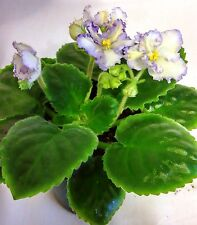 African Violet Ma's Ching Dynasty Starter Plant Standard Semi Double
