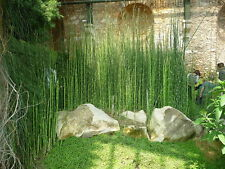 6 x Horsetail Reed Pond Plants bamboo Looking Zen Garden