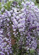 Blauregen - Wisteria - Glyzine 'floribund Isaii'  (veredelte Pflanze) 80 -100 cm