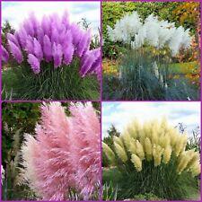 100pcs Rare Impressive Purple Pampas Ornamental Garden Plants Flowers Seeds