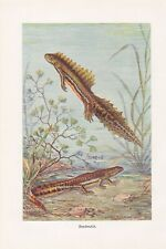 Bandmolch Ommatotriton ophryticus Farbdruck von 1912 Molche Molch