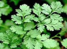 CORIANDER CILANTRO CULANTRO 30 Seeds Open-Pollinated Heirloom USA Container Fall